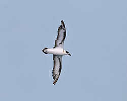 blackcappedpetrel_flight_bottom.jpg