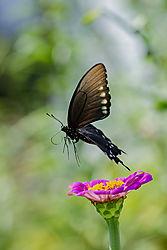 blackswallowtailDSC_7345.jpg
