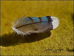 blue_jay_feather_afloat_DSC4473.jpg