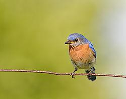 bluebird_on_a_wire_in_early_light.jpg