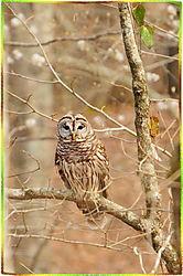 bluebluff_owl1x.jpg