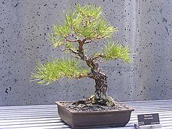 bonsai10_jpg.JPG