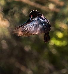 bronze_headed_cowbird.jpg