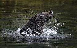 brown_bear_d500_young_male_swimming_61_shaking.jpg