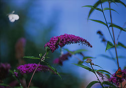 butterfly_bush_1_screen.jpg