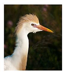 c-egret-portait.jpg