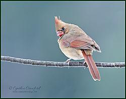 cardinal_female_look_back2_DSC3567.jpg