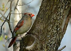 cardinal_female_on_tree.jpg