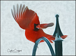 cardinal_m_wings_paint2_DSC1595.jpg