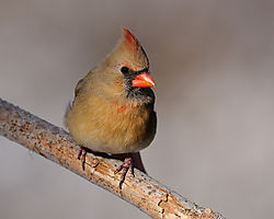 cardinal_portrait.jpg