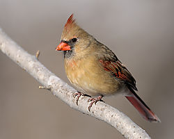 cardinal_side.jpg