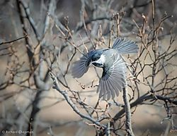 chickadee_in_flight1.jpg
