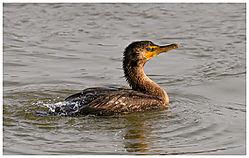 cormorant1.jpg