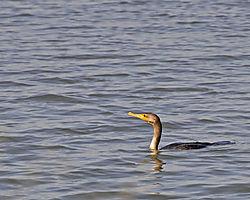 cormorant_maybe_DSC4554_edited-1.jpg