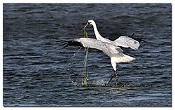 courting_whooping_crane_seaweed.jpg