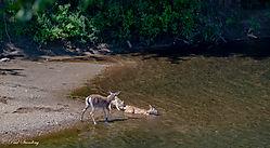coyote_deer1.jpg