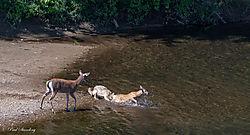 coyote_deer2.jpg