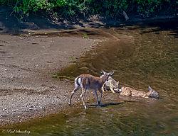 coyote_deer3.jpg