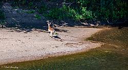 coyote_deer4.jpg