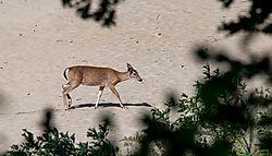 coyote_deer6.jpg