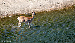 coyote_deer7.jpg