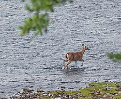 coyote_deer8.jpg