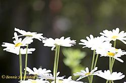 daisies1a.jpg