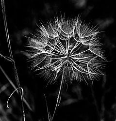 dandelion13.jpg