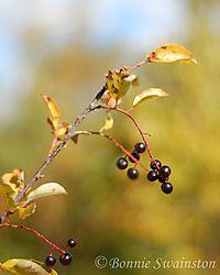 dark_berries1.jpg