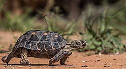 desert_tortoise.jpg