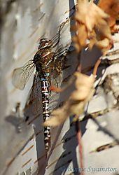 dragonfly_on_birch1.jpg