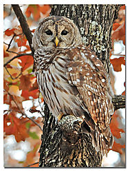 dripping_spgs_barred_owl.jpg