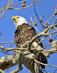 eagle81.jpg