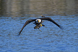 eagle_with_coot_.jpg