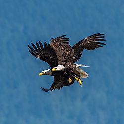 eagles_over_Hood_Canal.jpg