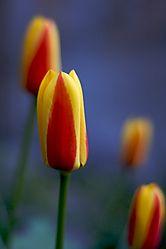 early_tulips.jpg