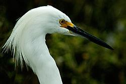 egret-profile-web.jpg