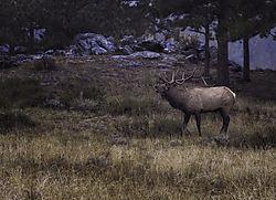 elk-bgs-325643_copy.jpg