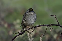 email_Golden-crowned_Sparrow_DSC_2324_1_of_1_.jpg