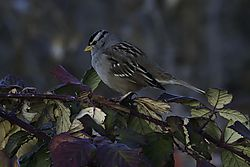 email_White-crowned_Sparrow_DSC_2308_1_of_1_.jpg