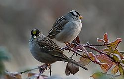 email_White_and_Golden-crowned_Sparrow_CA11809_1_of_1_.jpg