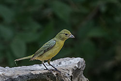 female_painted_bunting.jpg