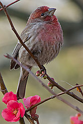 finch_on_quince.jpg