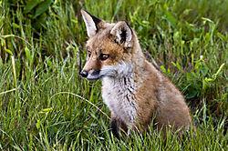 fox_kit.jpg