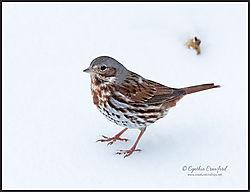 fox_sparrow_snow2_DSC2826.jpg