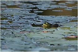 frog31.jpg