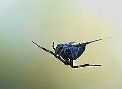 garden_spider_2.jpg
