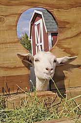 goat2web.jpg
