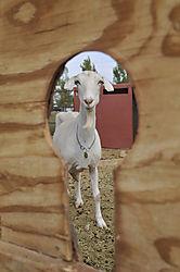 goatkeyweb.jpg