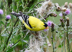 goldfinch4.jpg